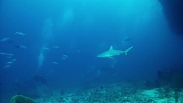 Búvárkodás a Maldív-szigetek - cápák