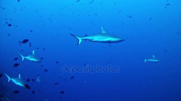 Tauchen auf den Malediven - Haie