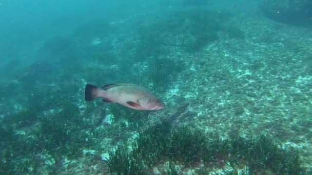 Marine sea life Grouper fish swimming slowly over the seabed