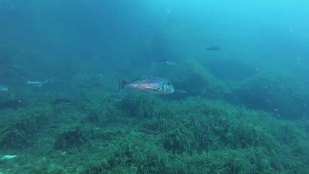 Dentex dentex fish swimming in cloudy watter