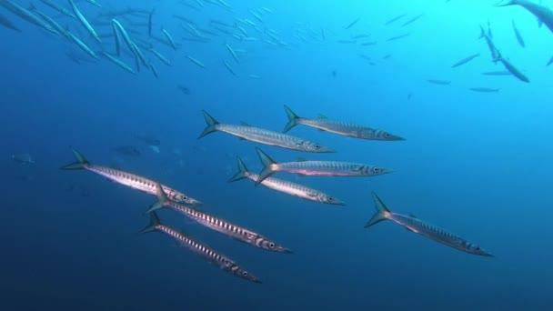 Mořský život - Barracuda ryby mělčina v blízkosti kamery