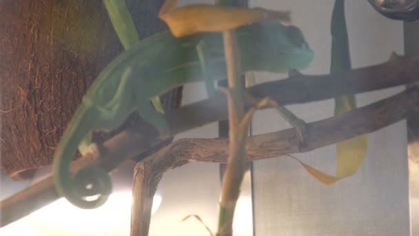 Divoké chameleon během lovu i tropický prales