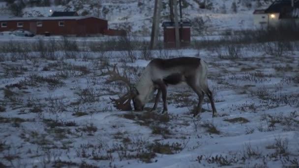 Rénszarvasok szarvas, természetes környezetben, Tromso régióban, Észak-Norvégia.