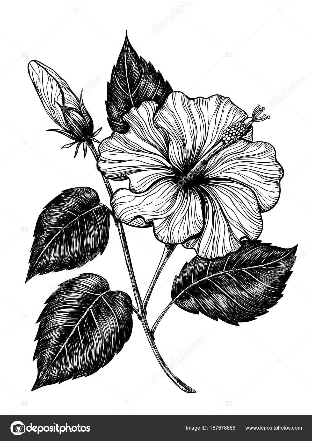 Hibiscus flower drawing stock vector katerinamk 187678866 hibiscus flower drawing stock vector izmirmasajfo