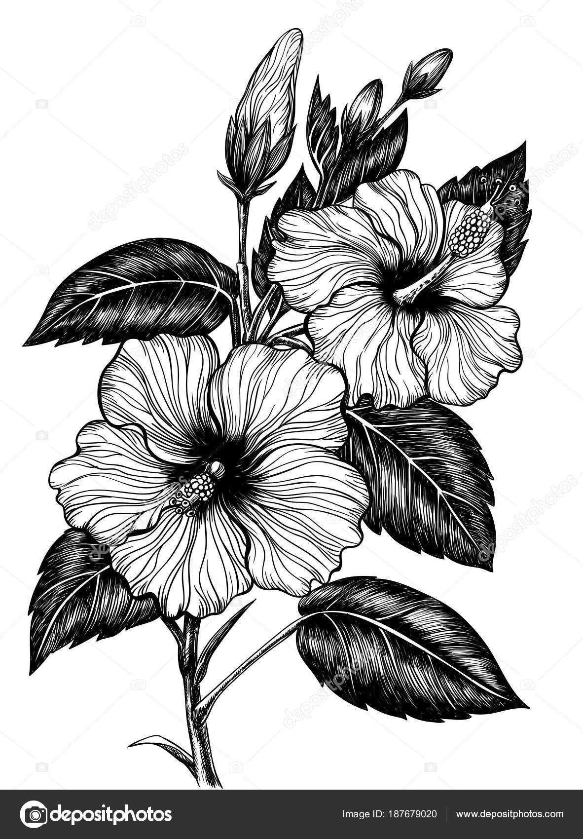 Hibiscus flower drawing stock vector katerinamk 187679020 hibiscus flower drawing stock vector izmirmasajfo