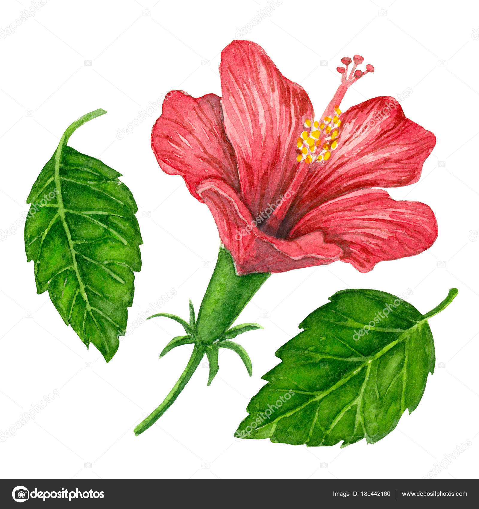 Watercolor hibiscus flower stock photo katerinamk 189442160 watercolor hibiscus flower stock photo izmirmasajfo