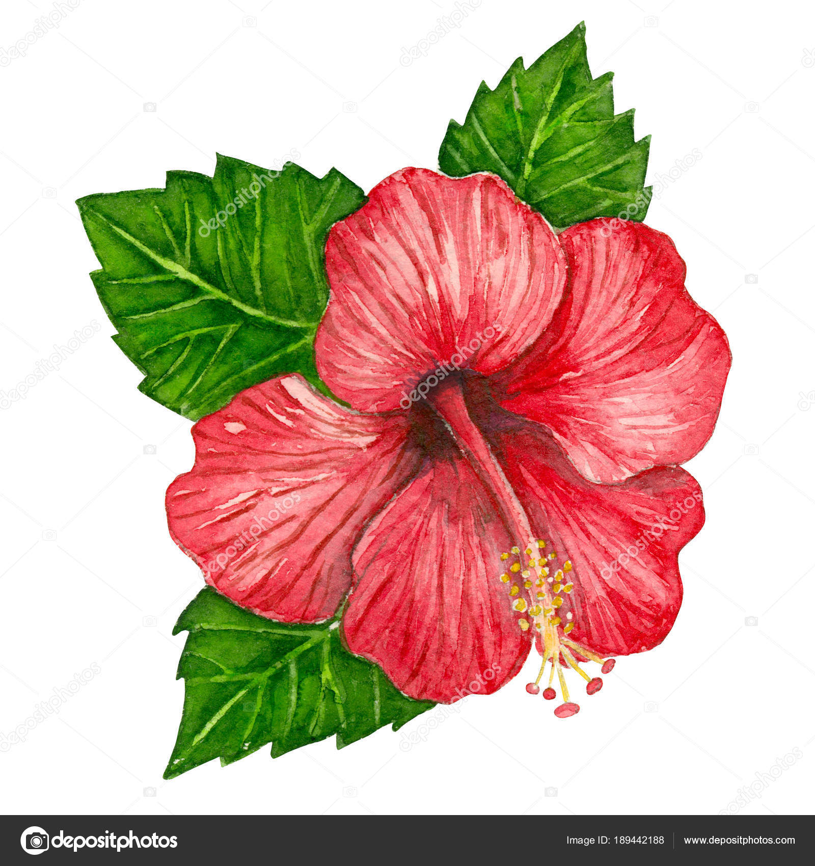 Watercolor hibiscus stock photo katerinamk 189442188 hibiscus flower and leaves painted with watercolors on white background element for design photo by katerinamk izmirmasajfo