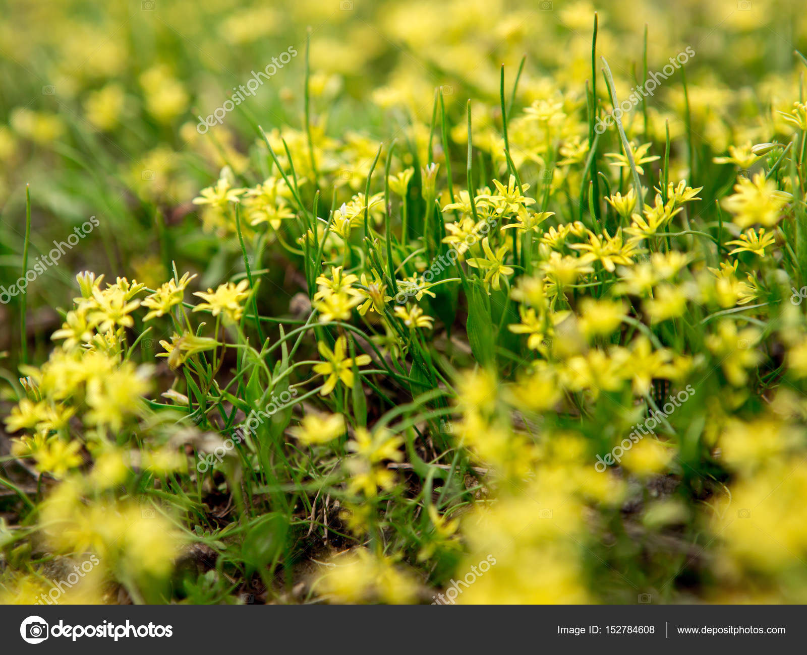 Small Yellow Flowers Stock Photo Sensemilia 152784608