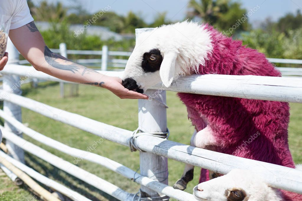 Human and nature relations concept. Man in white t-shirt with tattoo on arm feeding sheep painted in pink color. Outdoor authentic shot of brutal male and cute funky mammal spending time together.
