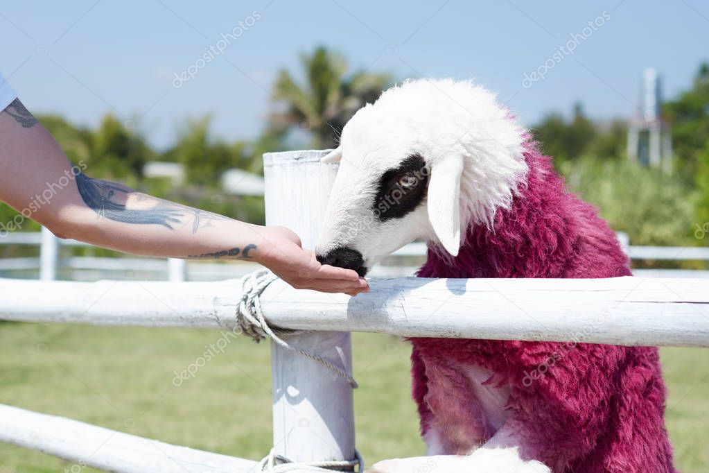 Human and nature relations concept. Man in white t-shirt with tattoo on arm feeding sheep painted in pink color. Close up authentic portrait of brutal male and cute animal relaxing on farm village.