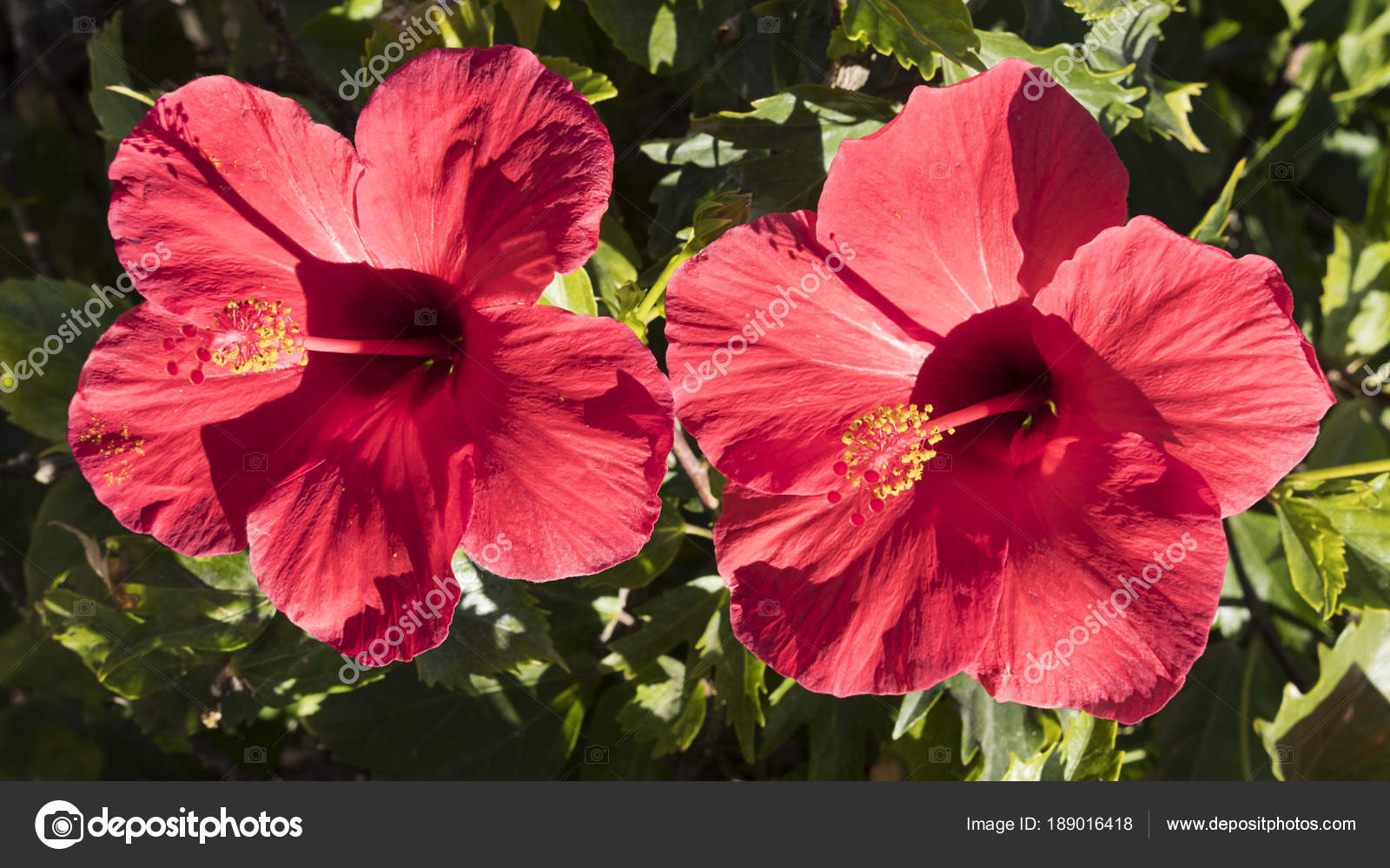 Two Exotic Colorful Red Hibiscus Flowers Strong Morning Sunlight