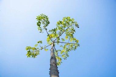 Tall bobax tree and sky