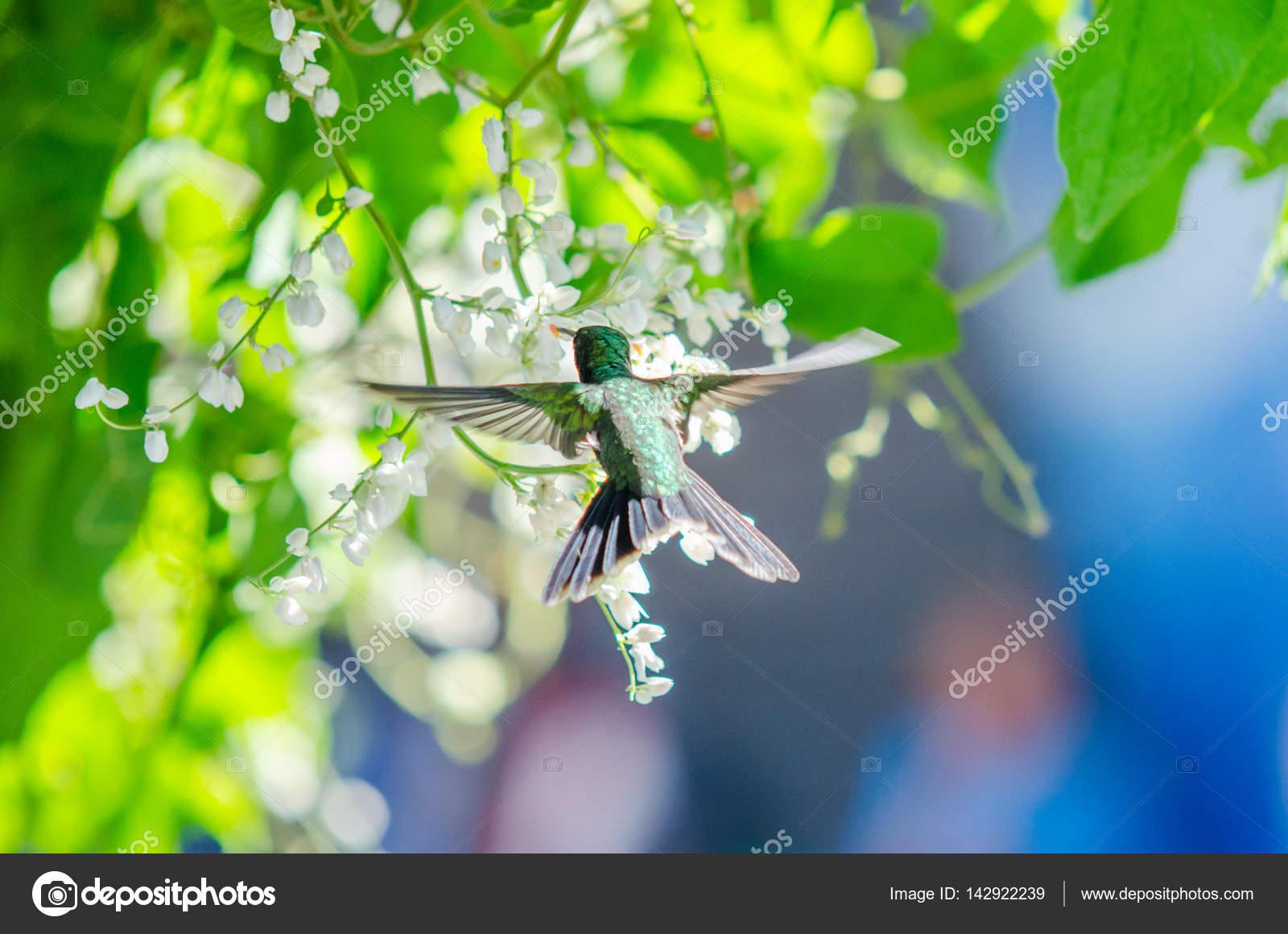 Colibrí volando junto a unas flores — Fotos de Stock © unaffected ...