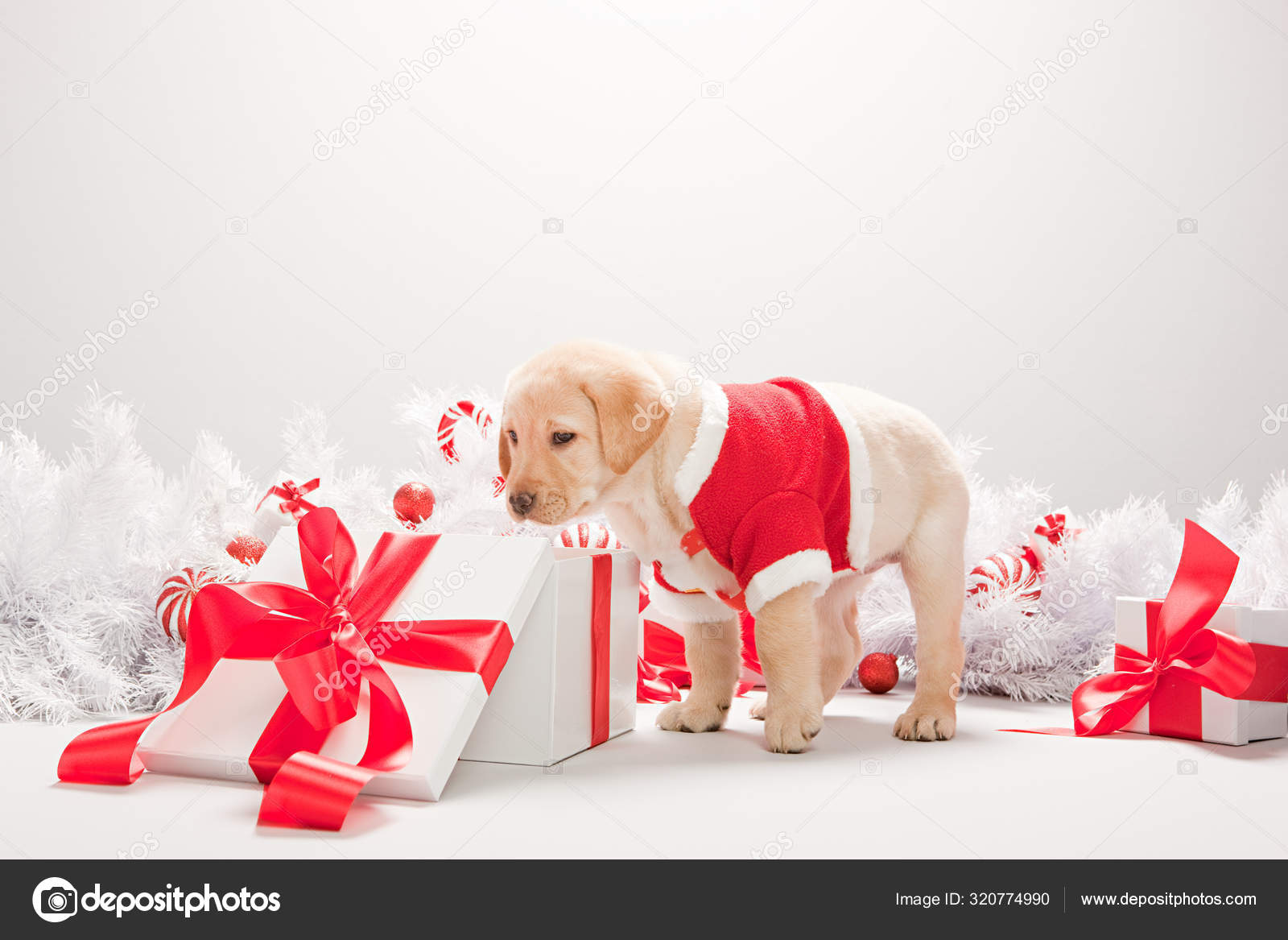 Labrador Puppy Looking Christmas Gift Box Stock Photo C Imagesource 320774990