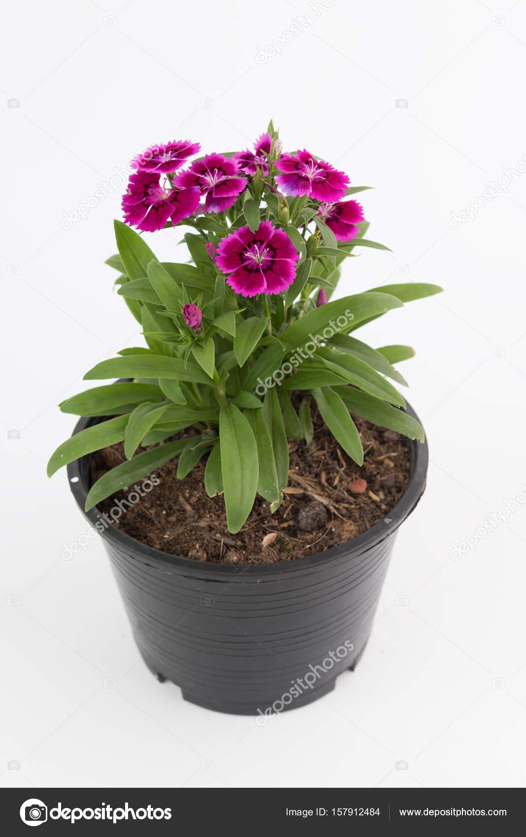 Piękny Dianthus Chinensis Kwiaty W Czarne Plastikowe