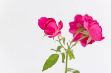 Pink rose flower branch isolated on white background