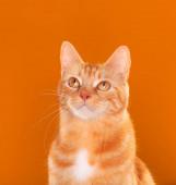 Gyönyörű gyömbéres cica bámul felfelé narancssárga háttér