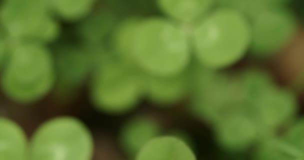 Pánev přes pole hřebíčků, zastavující se na šťastném čtyřlístkovém jeteli. Shamrock tvar pro štěstí šarm nebo den svatého Patrika.