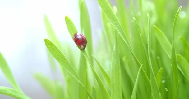 Élénk piros katicabogár a zöld fű pengéjén