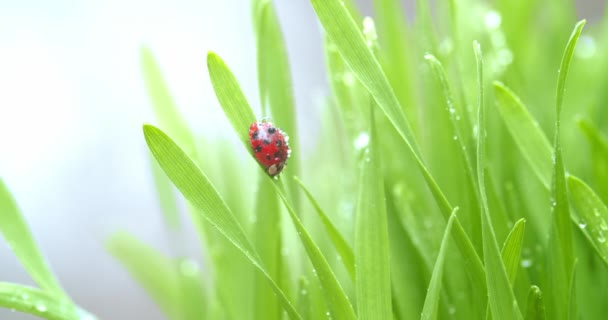 Bright red ladybug on blade of green grass covered in dew drops