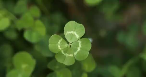 Šťastný čtyřlístek jetele v poli jetele. Shamrock tvar štěstí kouzlo nebo den svatého Patrika.