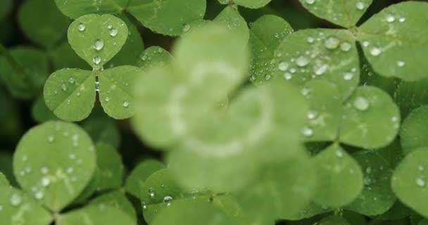 Pomalu se soustředí na šťastnou čtyřlístek jetele. Shamrock tvar pro štěstí šarm nebo den svatého Patrika.