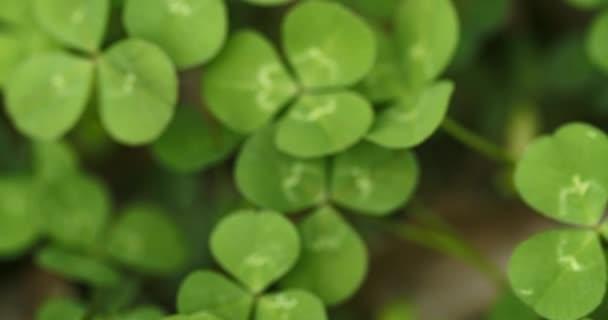 Pást se přes pole hřebíčků, hledat a sbírat šťastný čtyřlístek jetele. Shamrock tvar pro štěstí šarm nebo den svatého Patrika.