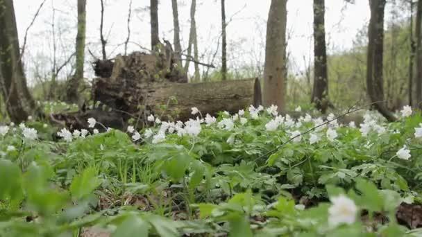 A hóvirág, a tavaszi erdő tisztás. Virágok, imbolygott a szélben