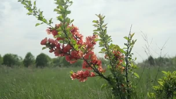 Japanese quince Bush with flowers standing in the field and swaying in the wind