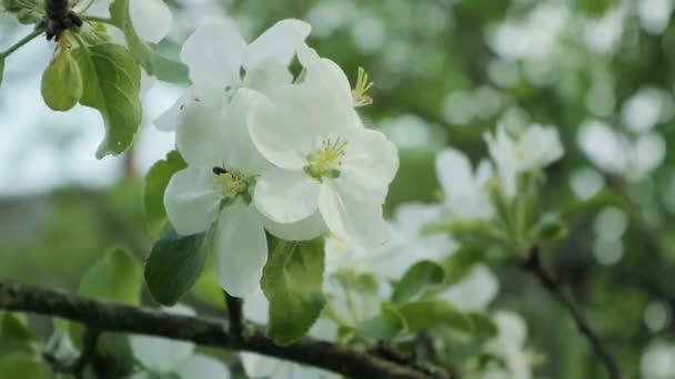 Větve s květy jabloní ve větru