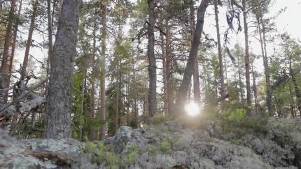 Erdei szakadék a háttérben egy öreg fenyőerdő, amelyen keresztül a nap játszik