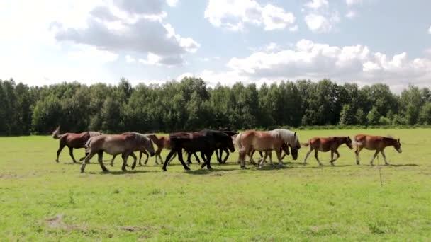 Panorama: stádo divokých hnědých koní na zelené louce s čerstvou trávou