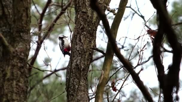Ein großer Buntspecht mit roter Feder saß an einem sonnigen Frühlingstag auf einem Baum