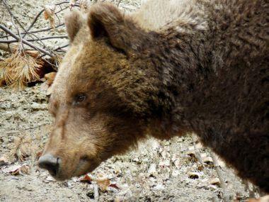 """Картина, постер, плакат, фотообои """"бурый медведь, ursus arctos в рила маунтин, болгария """", артикул 189098436"""