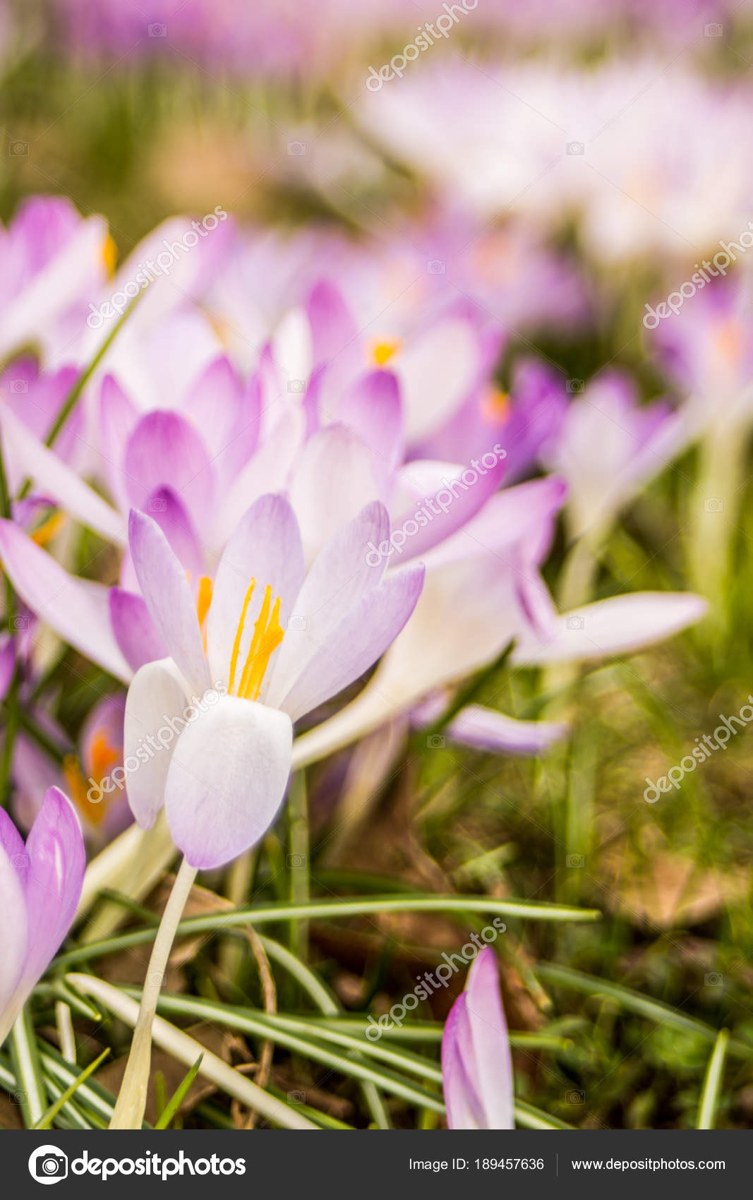 Crocus Plural Crocuses Croci Genus Flowering Plants Iris Family