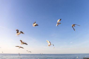 a flock of seagulls whirls in the sky above the sea and begs for food