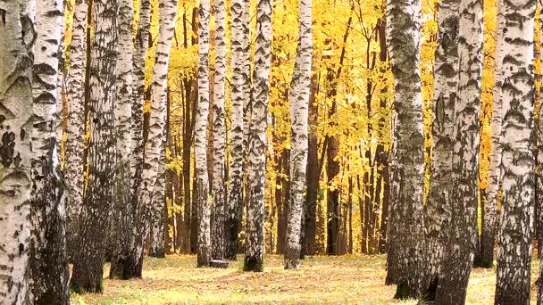 Vítr v podzimní březový les, padající žluté listy