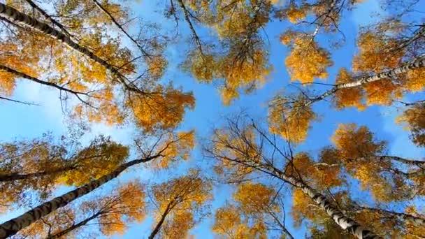Podzimní březový les, stromy houpat se ve větru na modrém pozadí, listí padá