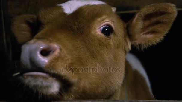 Červené dítě kráva tele stojí u stánku v zemědělské krajině