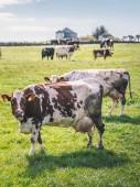Vacche da latte al pascolo sul campo verde in Norvegia nel periodo estivo