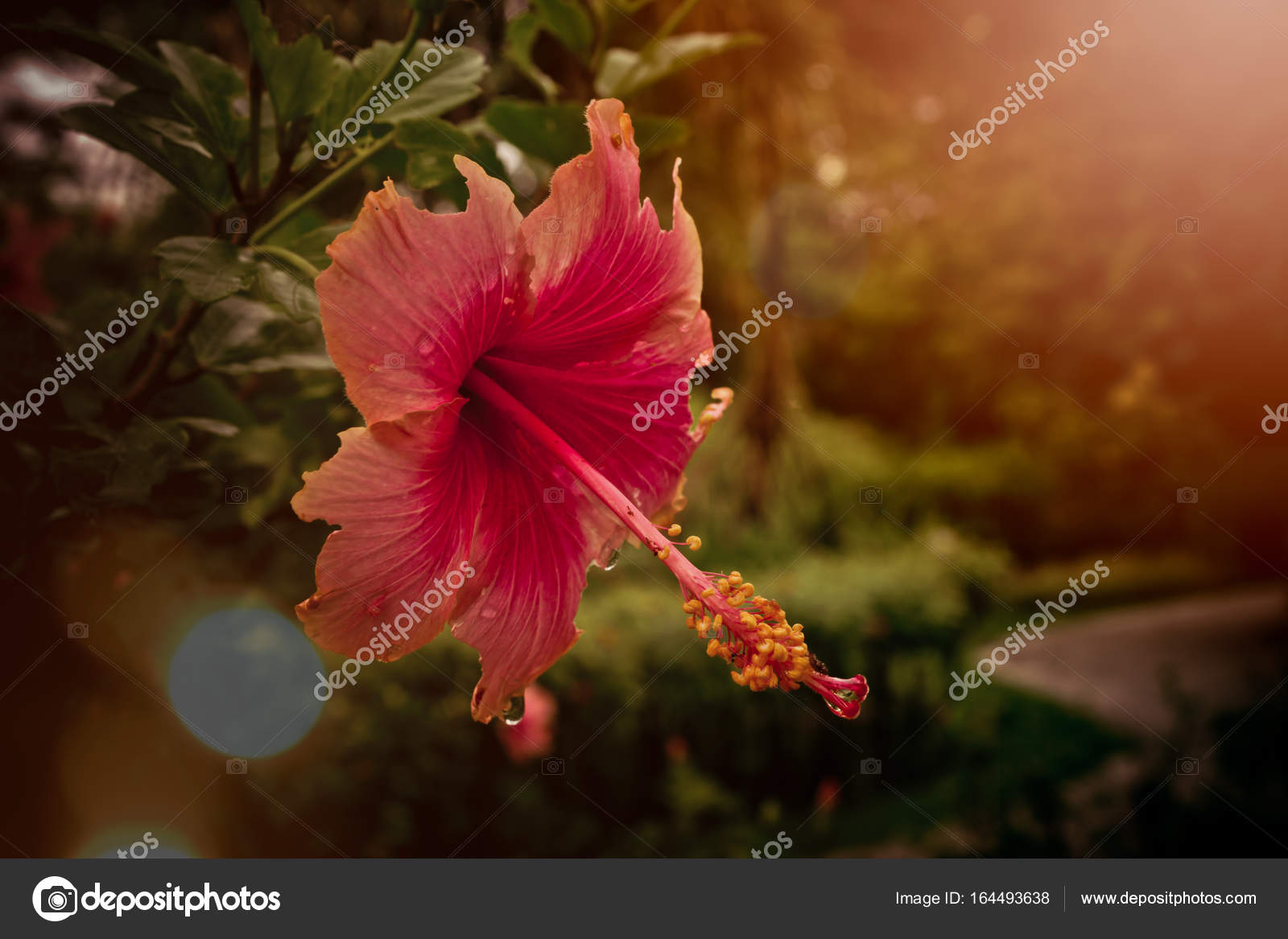 Red Chinese Rose Flower Blooming In Sunrise Stock Photo