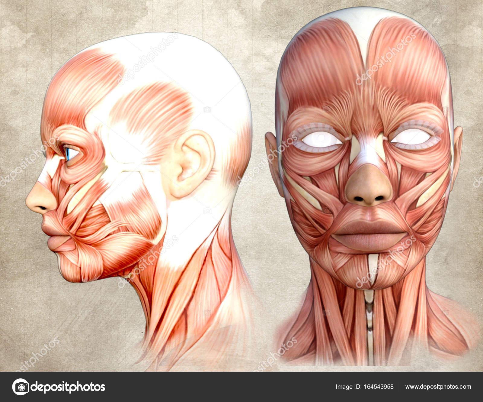 Human Face Anatomy Stock Photo Coke9zerogmail 164543958