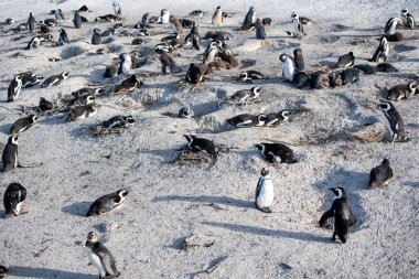 penguins, the beach of boulders