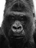 Photo Big adult gorilla