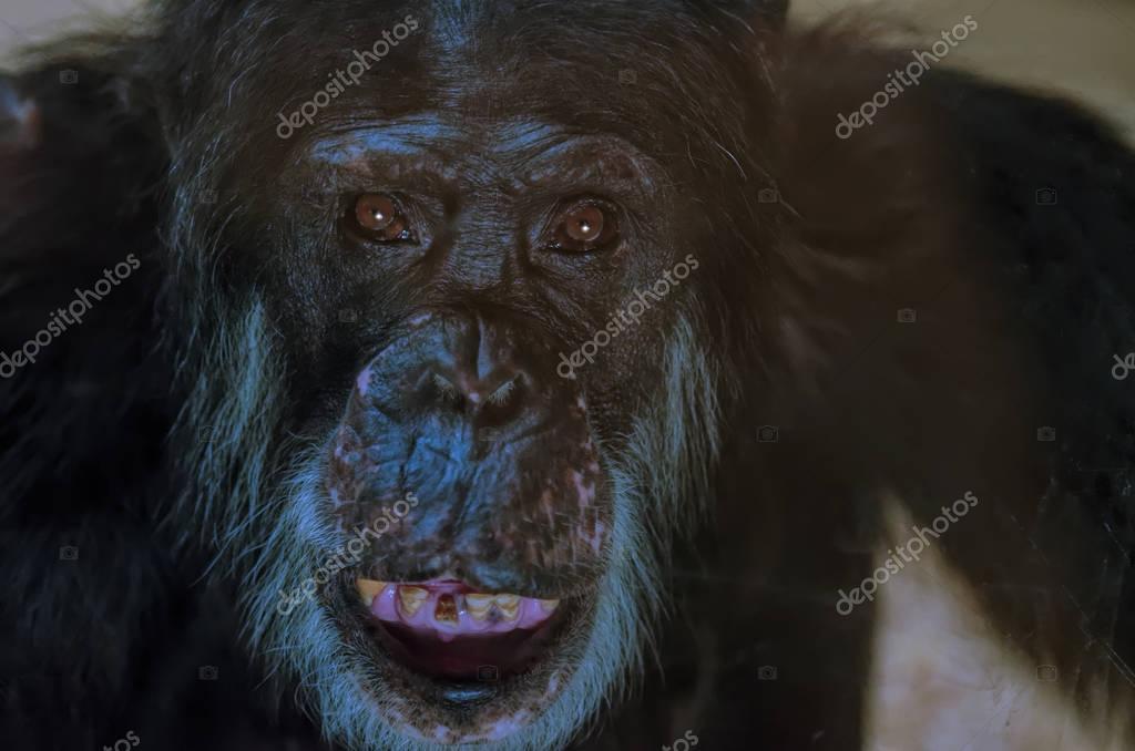 Big adult chimpanzee