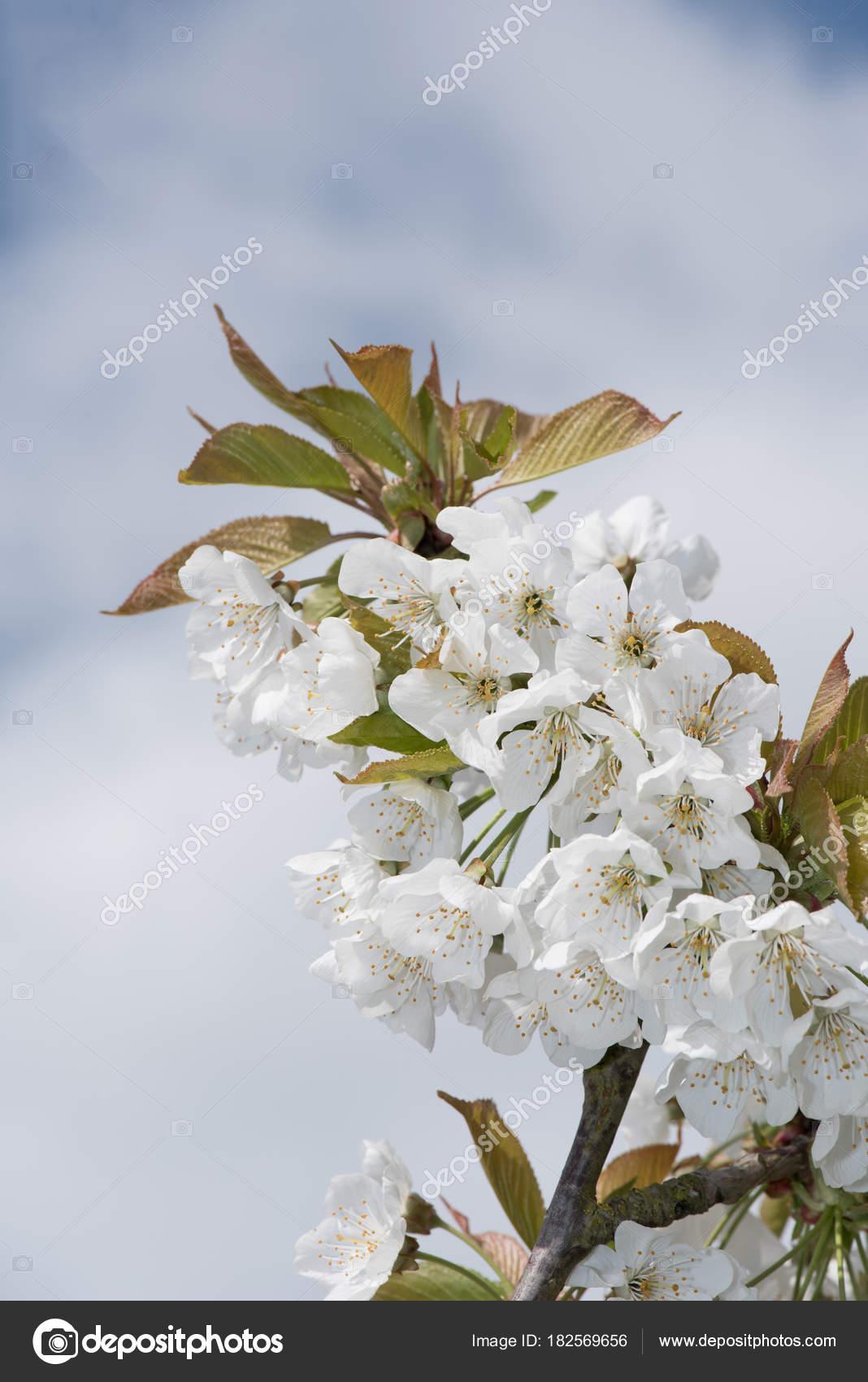 Branch white flowers cherry blossom tree blue cloudy sky background branch of white flowers cherry blossom tree on blue cloudy sky background photo by njaj mightylinksfo