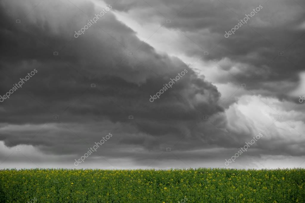 yellow raps field under grey cloudy sky