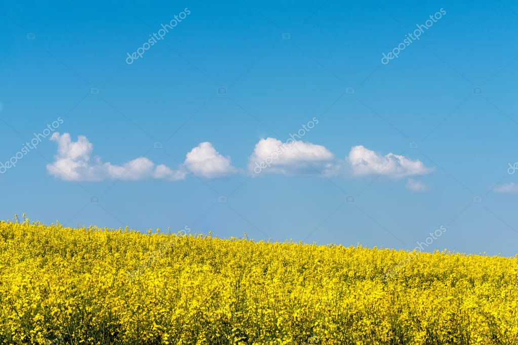 yellow raps field under blue cloudy sky