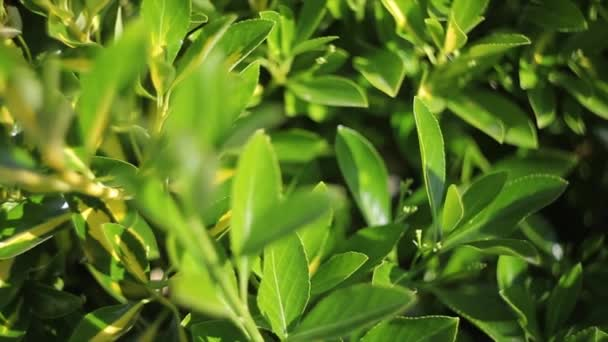 A close up of a green foliage texture. High quality footage