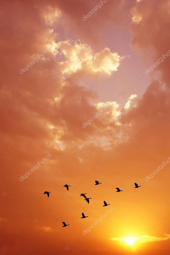 Flock of birds at sunrise or sunset
